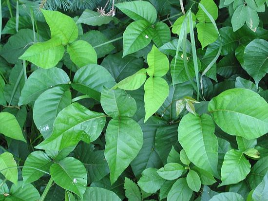 Homemade Poison Ivy And Weed That Really Works