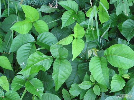 Homemade Poison Ivy and Weed Killer That Really Works