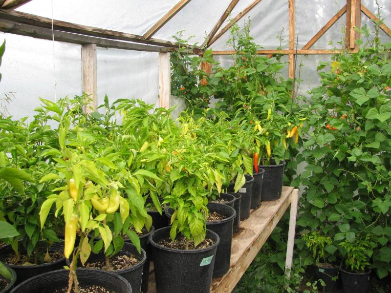 Peppers and pole beans growing in a greenhouse