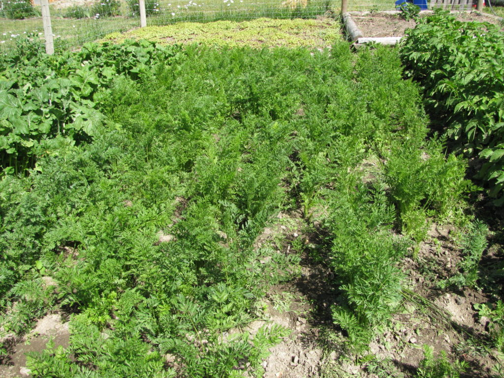 how to grow carrots, vegetable gardening