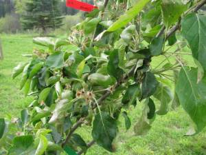 apple tree, fruit tree