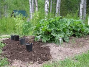 Rhubarb bed, Rhubarb, Blueberries