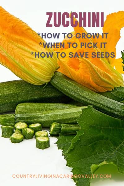 Here's how to grow Zucchini. When to harvest Zucchini. How to save Zucchini seed. #gardening #zucchini #DIYgarden #vegetablegardening