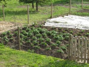potatoes hilled 1 Jun 19 09 300x225 How To Get Started on the Path to Providing for Your Family