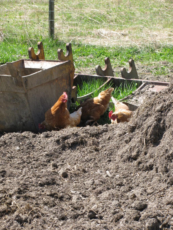 raising chickens, hens, layers