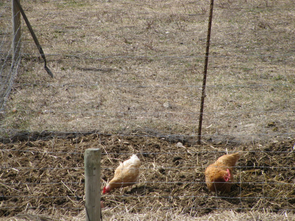 woking chickens, chickens like to work