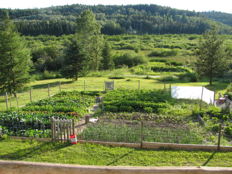 The Veggie Garden and Berry Beds…and More Rhubarb