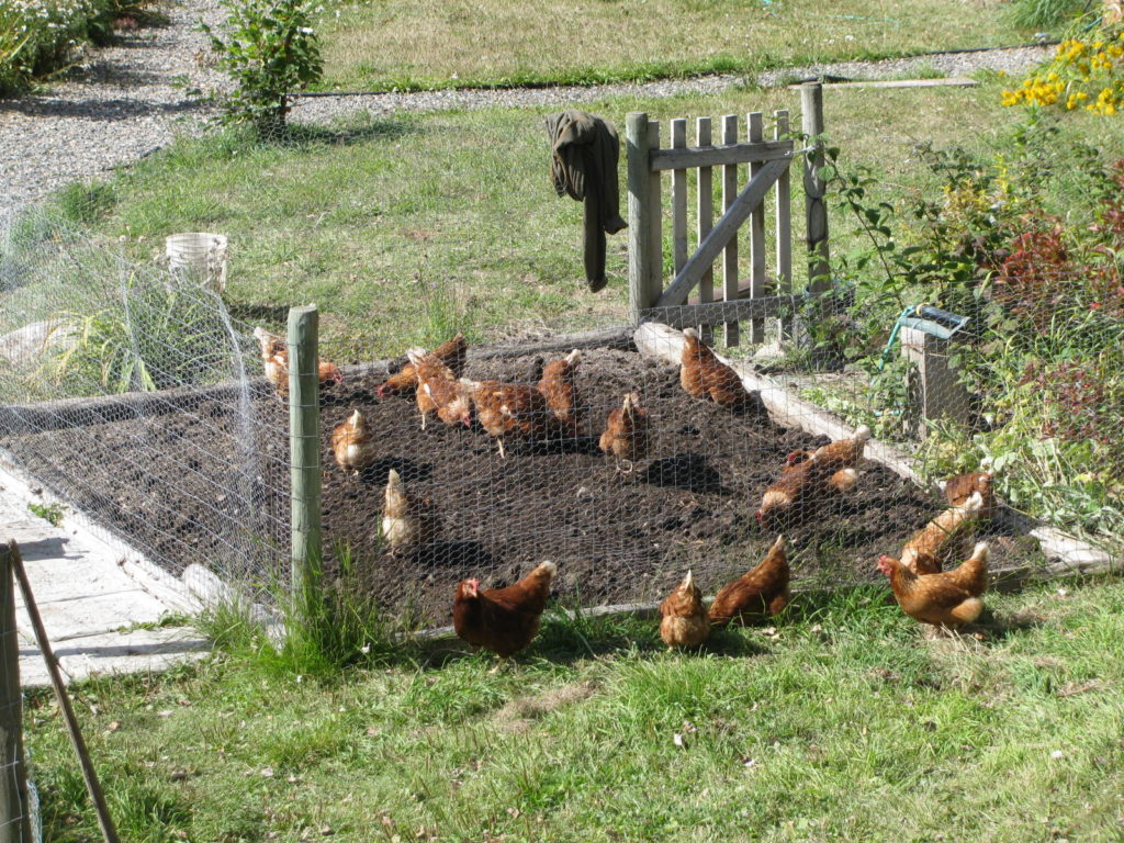 Chickens cleaning up a garden bed after harvest.