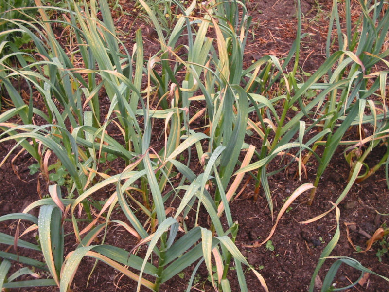 Growing Garlic – Part 3 Harvesting Garlic