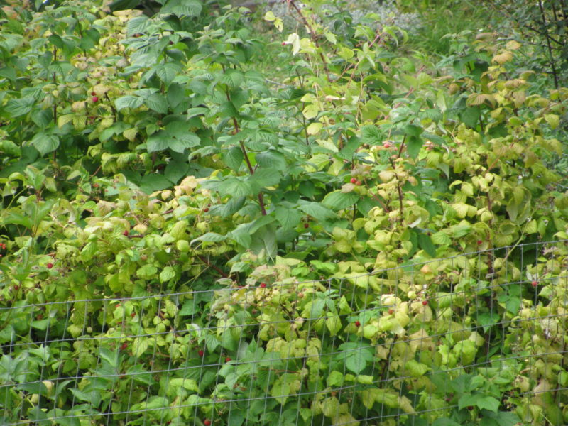 The Raspberry Patch Needs a Good Fall Cleanup