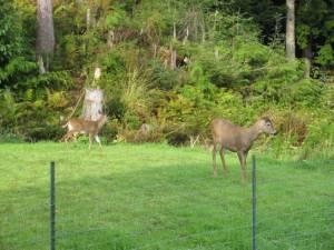 buck, doe, deer