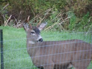 buck, deer,