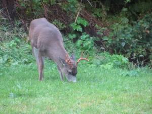 buck, deer, male deer