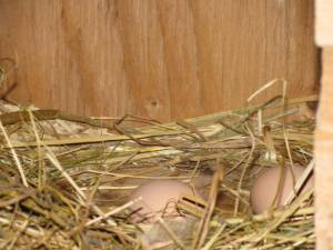 build a chicken coop, hens, roosters, country living in a cariboo valley, raising chickens, eggs