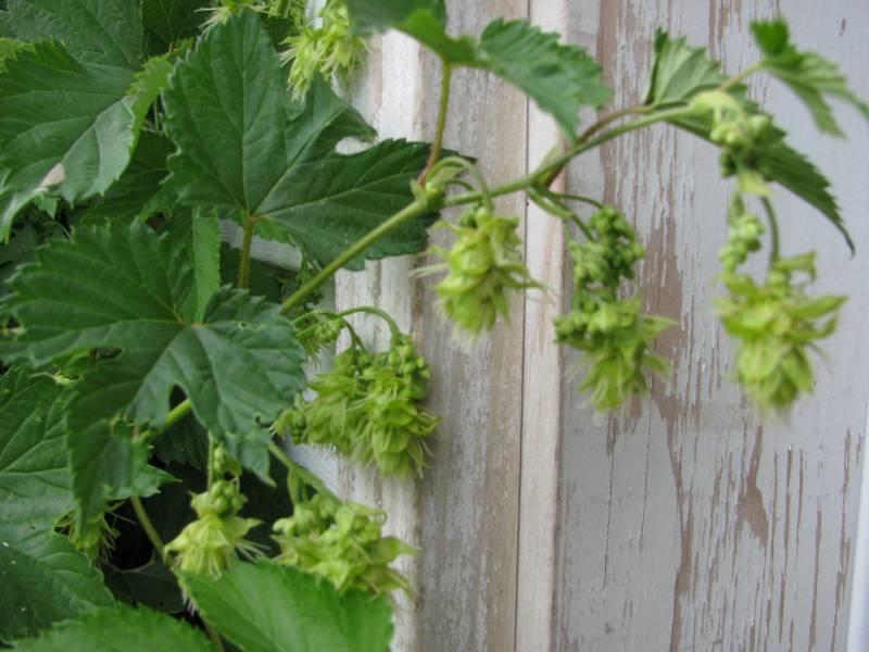 Hops grows along a sturdy fence.
