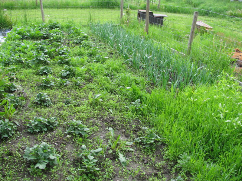 the veggies are growing country living and garlic