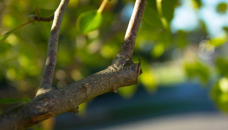Cut fruit tree branches at an angle.