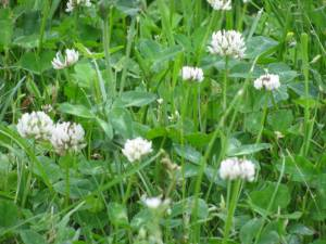 IMG 6468 300x225 Plant Clover for the Bees!