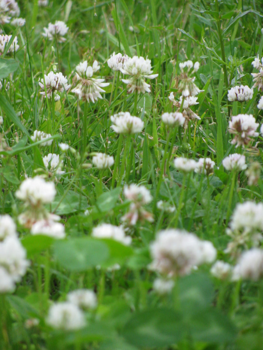 plant clover for the bees, landscaping