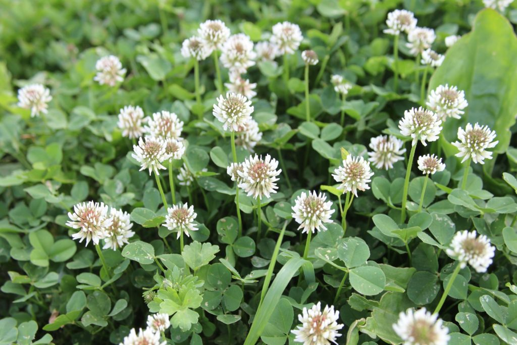 bees, pollination, clover