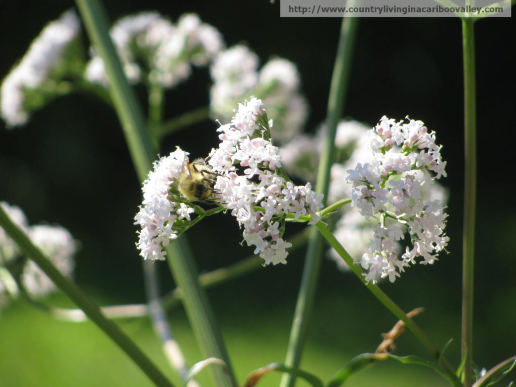 valerian, clover, bees