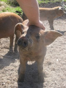 raising your own pigs is fun and cost effective if you do it properly