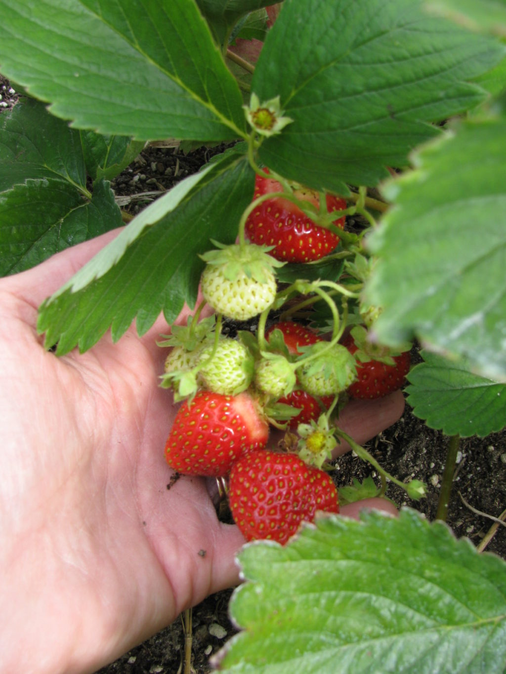 grow berries, strawberries