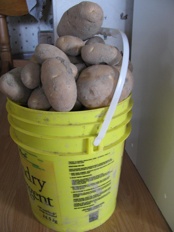 harvesting potatoes, growing potatoes, winter storage for potatoes