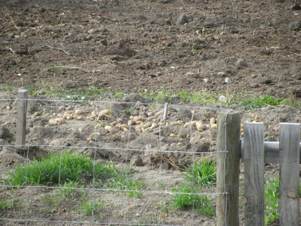 harvesting potatoes, growing potatoes, winter storage for potatoes, storing potatoes