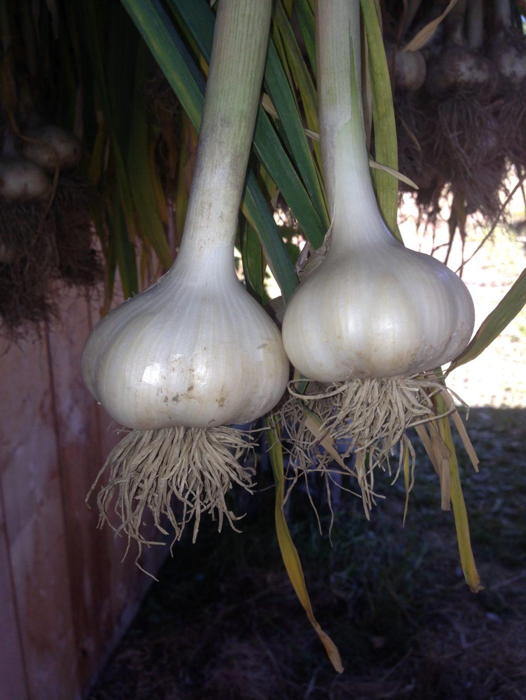Canadian garlic, grow garlic