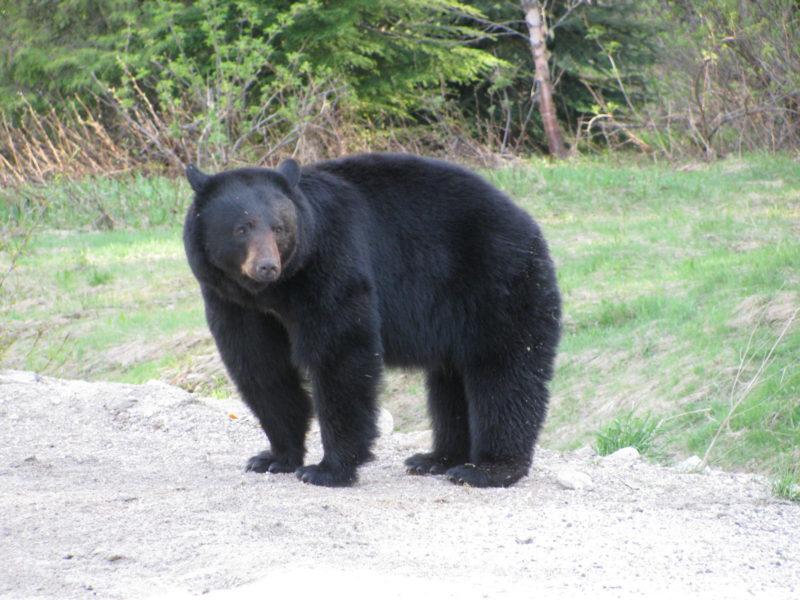 Bear Meat and Making Lard