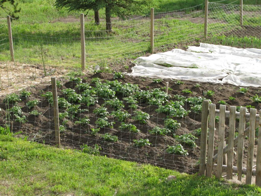 harvesting potatoes, grow potatoes, store potatoes, winter storage for potatoes