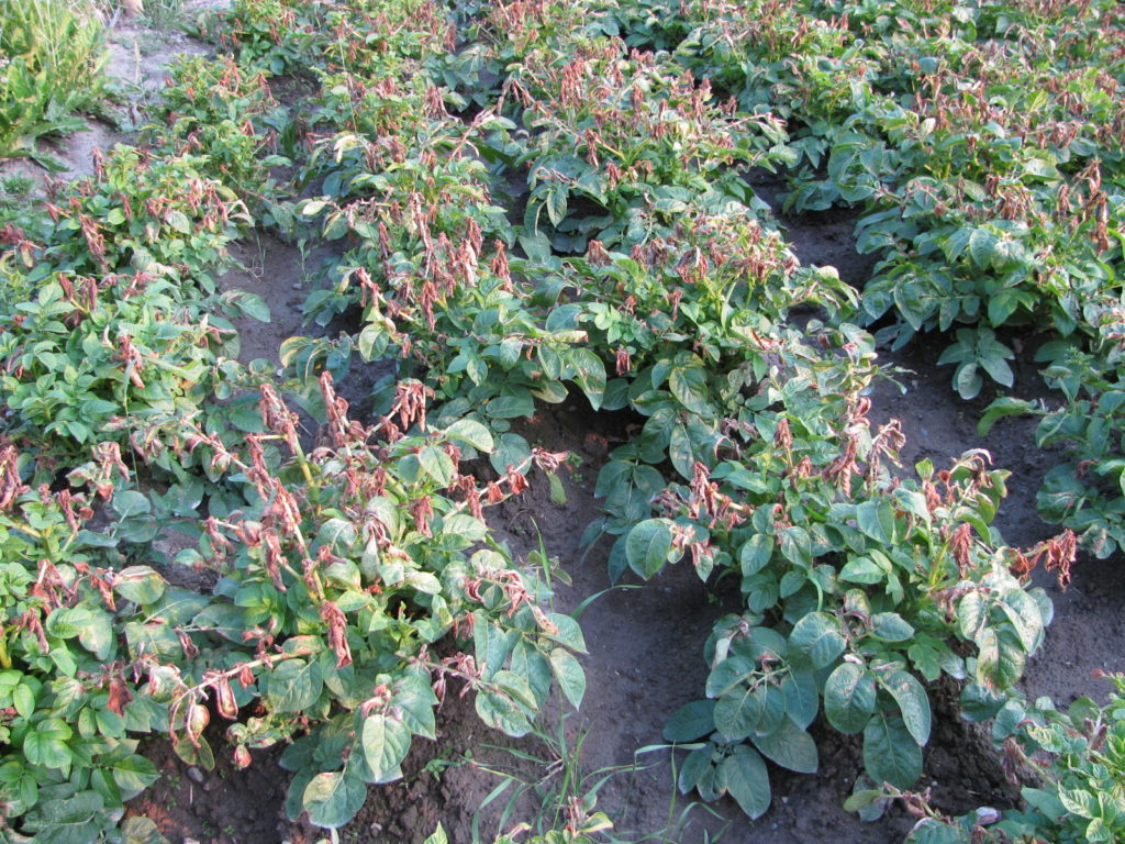 harvesting potatoes, storing potatoes, grow potatoes, winter storage for potatoes