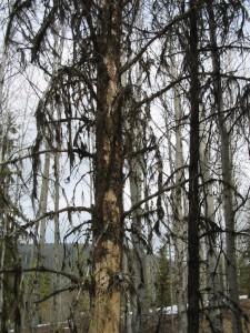 standing dead beetle kill tree apr 08 225x300 Riding the Quad