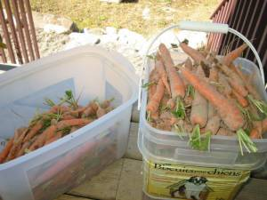 carrots Sept 30 20061 300x225 Growing & Harvesting Carrots   Wordless Wednesday