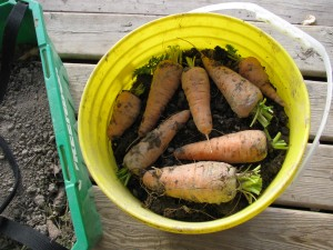 harvested carrots Growing & Harvesting Carrots   Wordless Wednesday