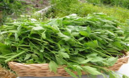 Drying Lovage and other Herbs