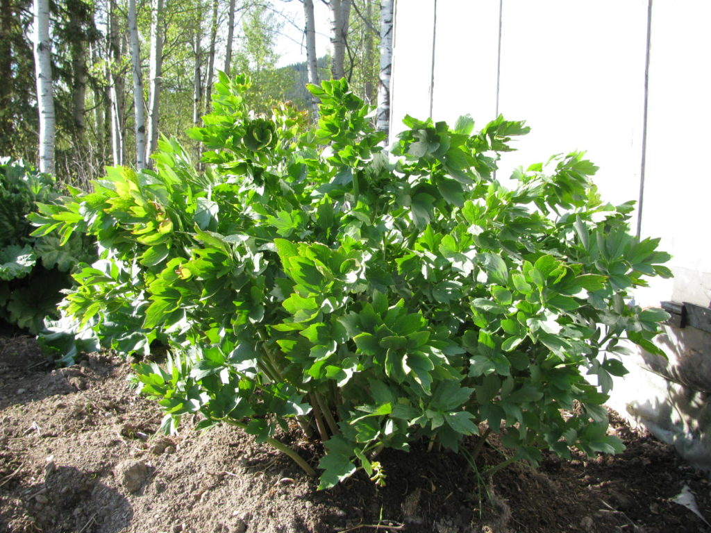 what is lovage, how to grow herbs, how to dry herbs