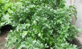 drying herbs, what is lovage, herb, grow my own herbs, garden