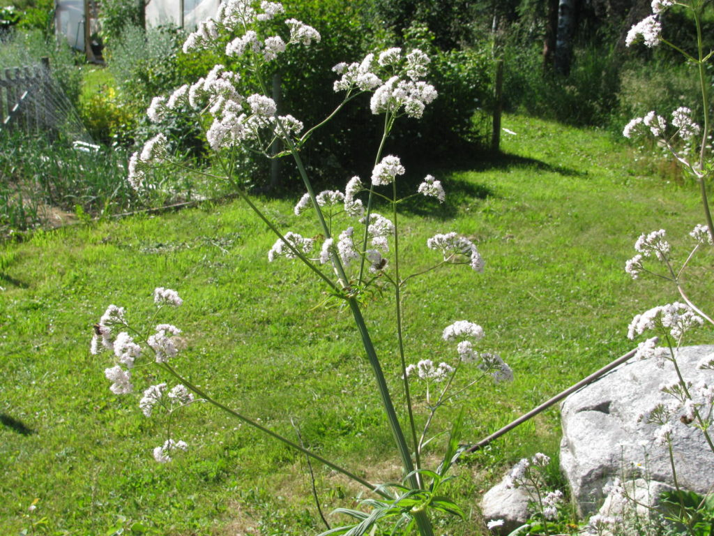 grow valerian, herb, sleep