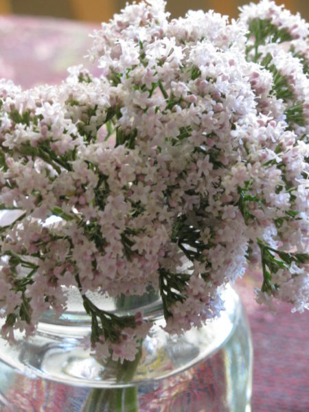 Growing Valerian