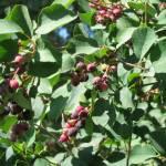 Saskatoon Raspberry Wine – Our eBook