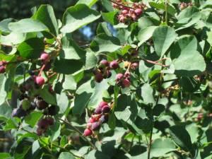 July 25 13 2 300x225 Saskatoon Berries