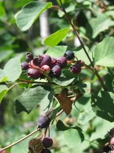 July 25 13 225x300 Saskatoon Berries