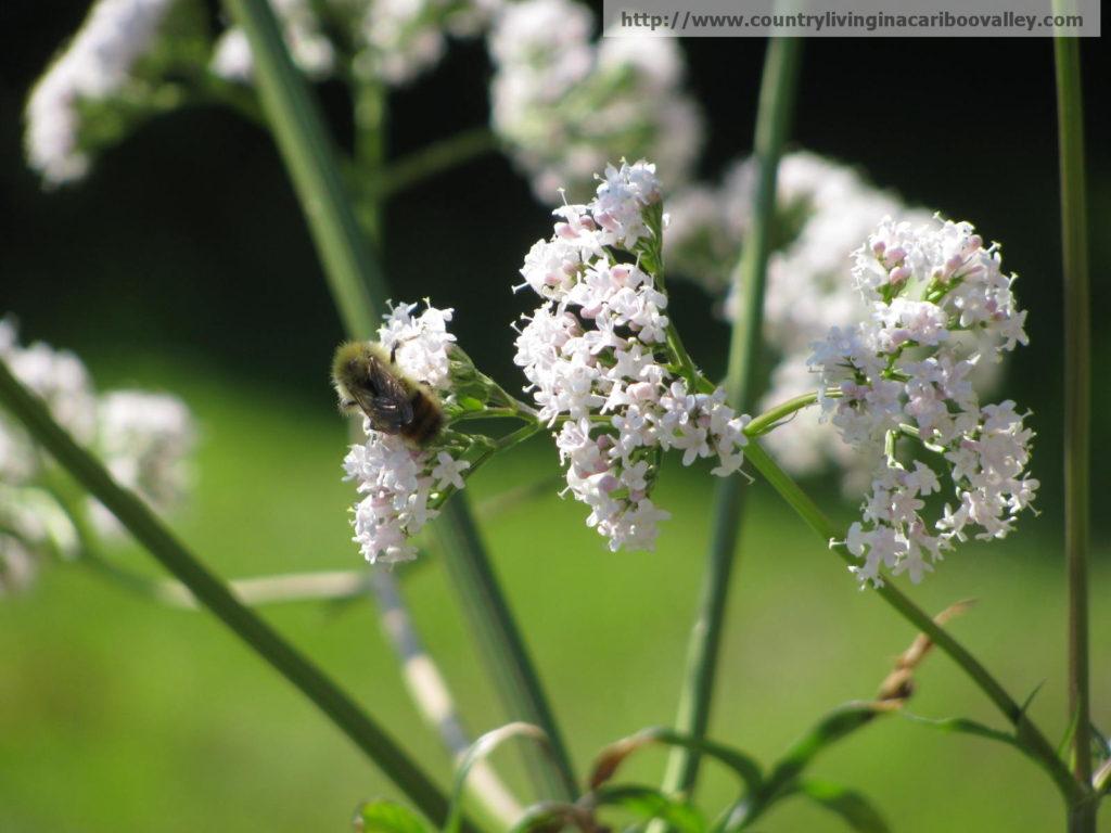 attract honey bees, valerian, herbs, flower