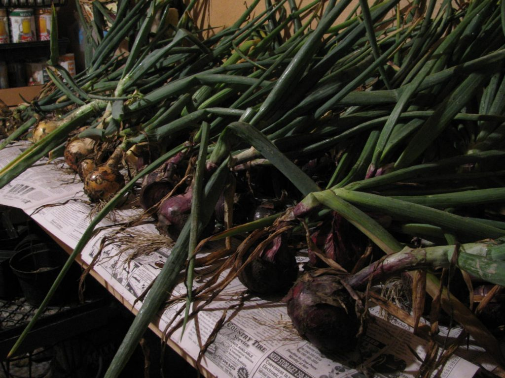 Onions drying on a rack
