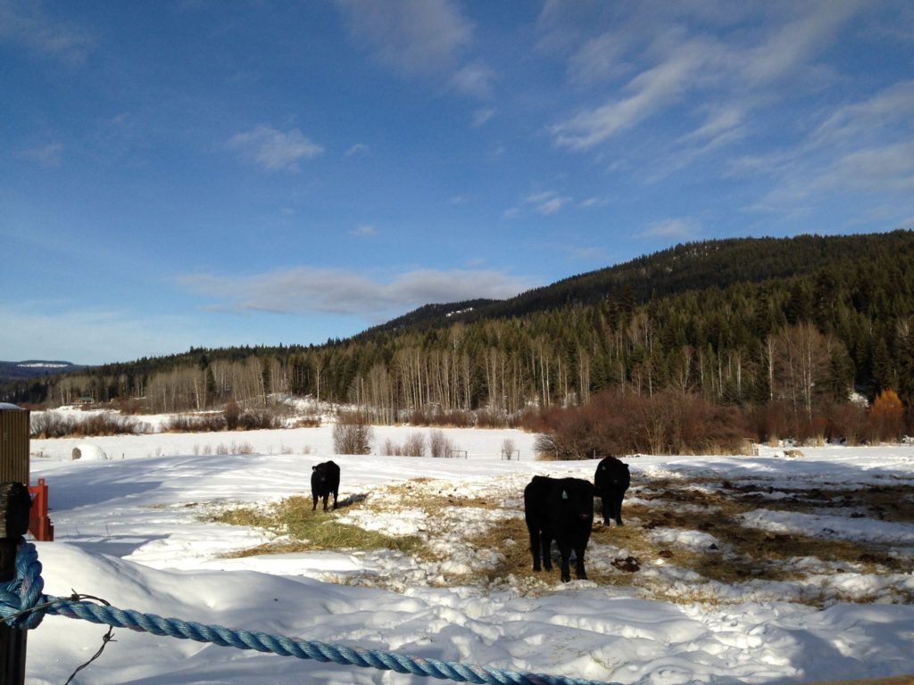 cattle, steer,cows