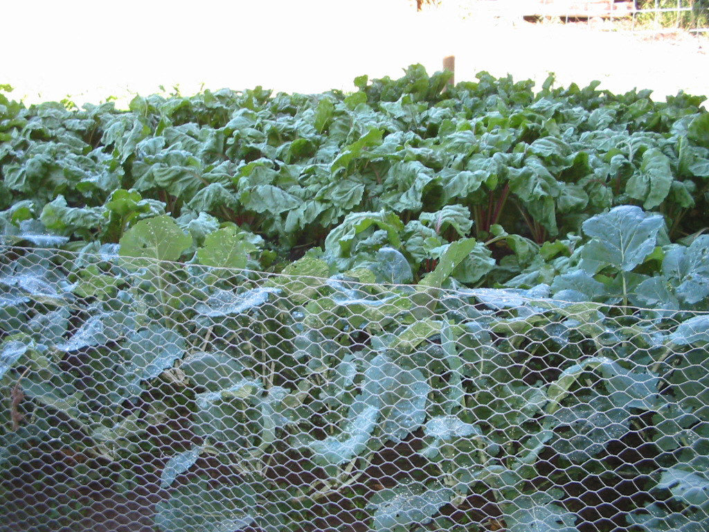 grow a garden for your livestock and save money at the feed store! #garden #livestock #homesteading