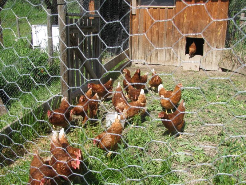 Chicken Farmin' 101