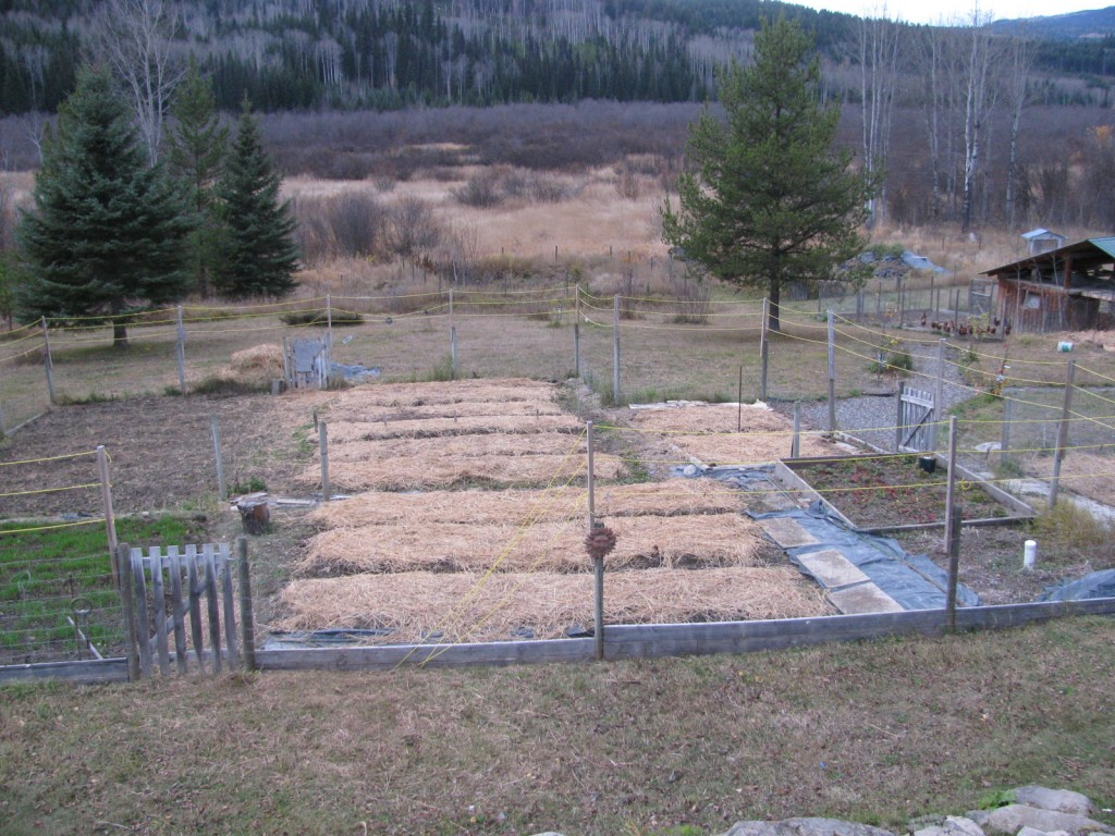 how to grow garlic in bc